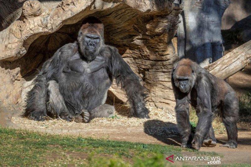 Dua ekor gorila di San Diego positif COVID-19