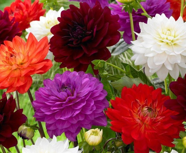 bunga dahlia warna warni