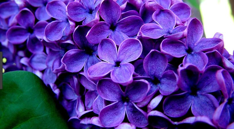 gambar bunga lilac
