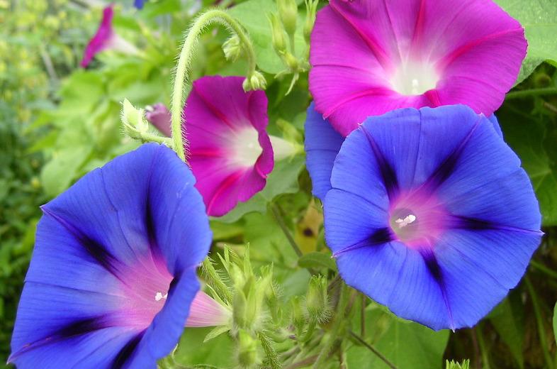 keindahan bunga morning glory