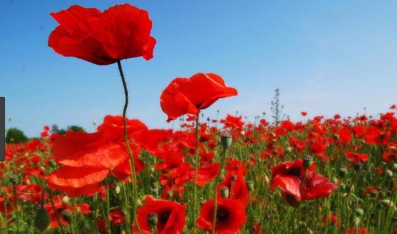 bunga poppy di taman