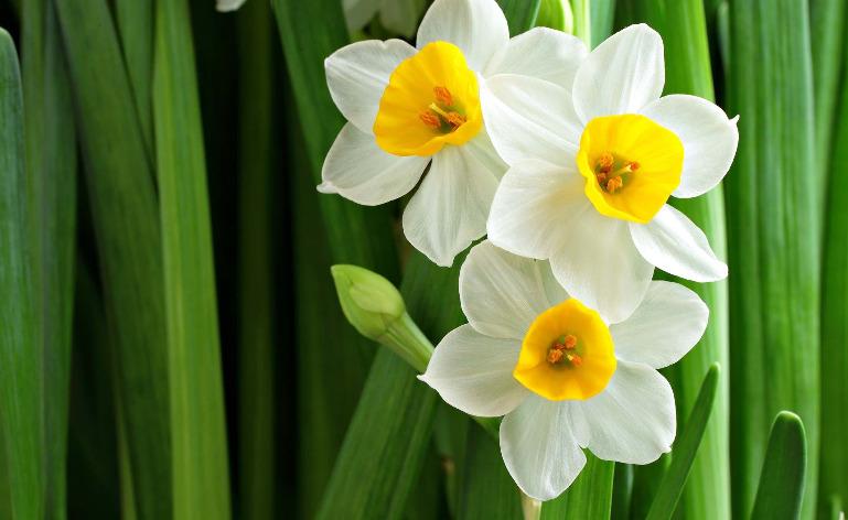 gambar bunga bakung