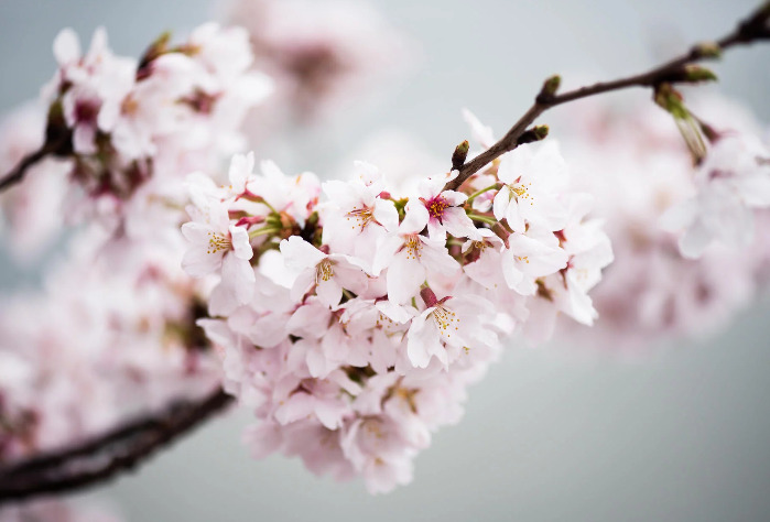 bunga sakura yang sedang mekar