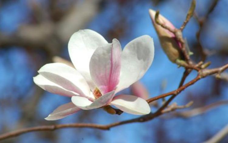 bunga magnolia yang sangat indah